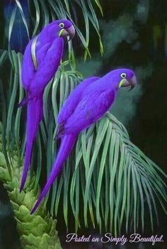 Purple Parrots so beautiful