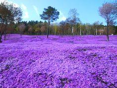 일본 다키노우에 공원, 지면패랭이꽃밭