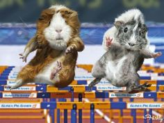 The Guinea Pig Olympics Are Almost As Riveting As The Real Thing