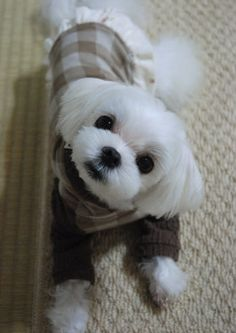 Maltese- how adorable