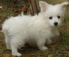 This is a corgipoo.  Mixed Breed Dogs pictures from Huffington Post, click through for cuteness! Hosted by imgur.com