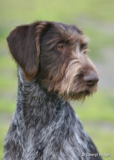 German Wirehaired Pointer Such cool beautiful dogs Curly Coated Retriever, Golden Retriever, Shepherd Puppies, German Shepherd Dogs, Braque Du Bourbonnais, Love My Dog, Rat Terrier, Hunting Dogs, Working Dogs