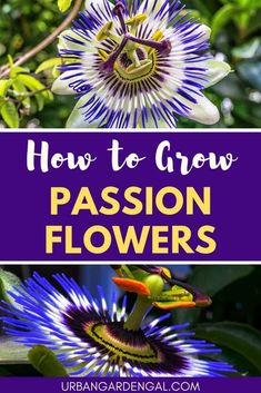 How to grow Passion flowers - These stunning flowers look spectacular growing on a trellis or climbing up an arbor. Read on to learn how to grow Passion flowers in your garden. Fast Growing Plants, Growing Seeds, Growing Flowers, Planting Flowers, Flower Gardening, Herb Gardening, Urban Gardening, Fruit Garden, Indoor Gardening