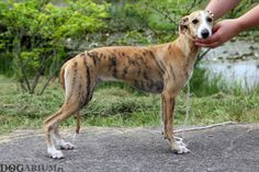 Hodowla Whippetów – Whippet Szczenięta – Whippet Kennel in Poland – Whippet Puppies in Poland 4 Months, Whippet, Friends Forever, Dogs, Animals, Animales, Animaux, Pet Dogs, Doggies