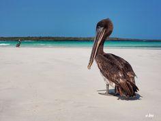Galapagos Islands, Galapagos, Ecuador - The token Galapagos Islands photo of Pelicans guarding its pristine beaches. This was taken in Tortuga Bay.