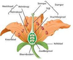 biologie van een bloem - Google Search