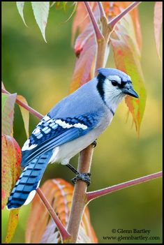 Bluejay ~ I have about a dozen frequent visitors ~ And all at one time....And they do yell at me if I don't have food out...