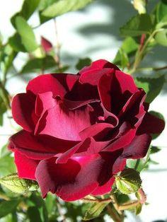 Colorful Roses, Corner, Bed, Plants, Nightingale, Community, Roses, Flowers, Beautiful Flowers
