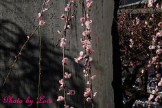 あー早く新しい写真撮りに行きたい。 けど、撮りに行く時間がない。 今日は 湯島天神の梅の花にしました★ 後ろに石碑があってちょっと気に入った構図でした。 by 愛花姫20