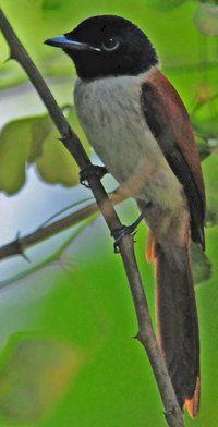 Seychelles Paradise flycatcher.