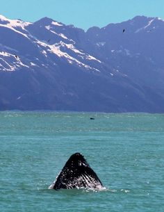 Whale Watching in Resurrection Bay, Seward Alaska. You see everything here!!!!!  Puffins, Orcas, whales, sea lions, mountain goats, otters, etc