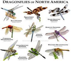 Dragonflies Of North America By Rogerdhall Beautiful Bugs Habitats Mammals Dog Breeds