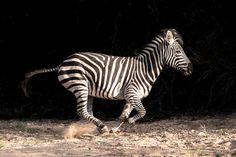 Zebra Motion by Rudi_Hulshof #animals #animal #pet #pets #animales #animallovers #photooftheday #amazing #picoftheday