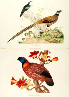 Pair of Limited Edition Reproduction Prints Depicting Various Bird Species. [London:] British Museum, 1977. Each published by the British Museum (Natural History) in a limited edition of 800 prints.