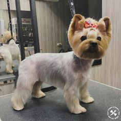 Yorkshire Terrier Ears Down Yorkshire Terrier Haircut, Yorkshire Terrier Puppies, Dog Grooming Styles, Pet Grooming, Yorkie Cuts, Yorkie Haircuts, Silky Terrier, Dog Grooming Business, Yorkie Puppy