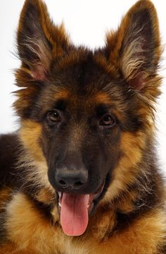 Dogs:  #German #Shepherd puppy.