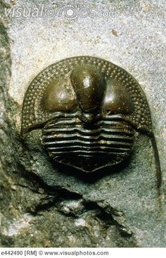 Trilobite  | In China? try www.importedFun.com for Award Winning Kid's Science |