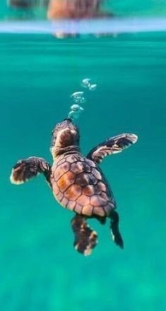 baby turtle animal animals background iphone wallpaper wallpaper iphone you didn't know existed planet animal drawings and white animal photography animals baby animals animals animals Baby Sea Turtles, Cute Turtles, Turtle Baby, Ocean Turtle, Save The Sea Turtles, Sea Turtle Art, Turtle Swimming, Pet Turtle, Cute Little Animals