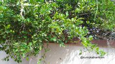 Flowers from My Cam: 15. Yelumichai / Lemon Flower ~ Kurinji Kathambam