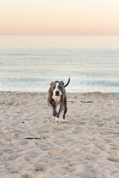 Handsome Zeus at the Beach | Laura Pea Photography | Long Island Pet Photographer | www.laurapeaphotography.com Beach Photography, Photography Tips, Beach Sessions, Pet Photographer, Dog Beach, First Photograph, Us Beaches, Best Mom, Long Island