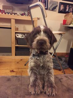 Gwyn ~ Wirehaired Pointing Griffon Pup ~ Classic Look