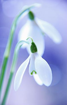 Snowdrops by VeronikaK on 500px