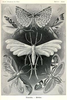 moths - lepidoptera - Ernst Haeckel, Kunstformen der Natur (1904), Tafel 58