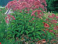 This statuesque plant adds strong architectural interest to your flower border and attracts butterflies by the dozen. Because perennial foliage usually declines after the plants bloom, choosing a late-season bloomer such as Joe-Pye weed ensures you have lush, beautiful foliage all season long. The variety called 'Gateway,' shown, reaches up to six feet in height.