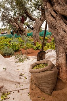 olives, Every Oct-Dec in Greece, is Olive harvesting time. Families can gather from kilos of olives for their yearly use. Olives, La Provence France, Greece Resorts, Moustiers Sainte Marie, Olive Harvest, Olive Gardens, Olive Tree, Corfu, Holy Land