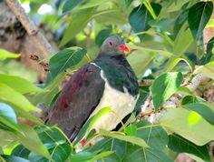 Kereru or NZ Wood pigeon by me