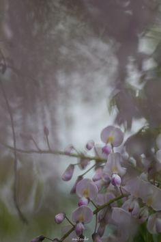 FLOWERS WISTERIA