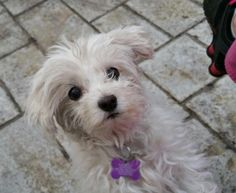 Maggie the Maltese on petfinder.com Wish I could have her.