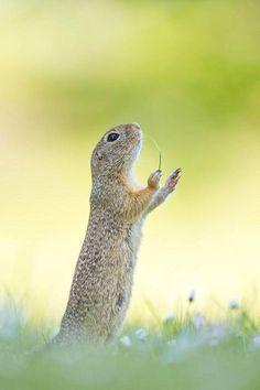 """Perdita Petzlin """"Maestrossa"""" pieni orava on kuin kapellimestari konsanaan ruohonkorsi käpälässä."""