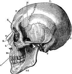 Side View of the Skull