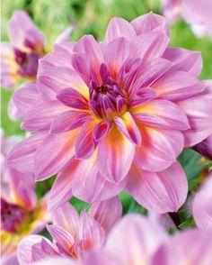 #Dahlia décoratif 'Papillon Rose'