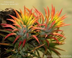 airplants leaves often turn bright colors in anticipation of blooming....this example is stunning!
