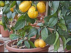 Le citronnier ne supporte pas les températures en-dessous de - 5 °C.Ailleurs, il se cultive en pot. Petits conseils d'Hubert le jardinier pour encore mieux s'en occuper et l'apprécier.La culture d'un citronnier en pot astuces sur le semis des agrumes à cette adresse : http://www.rustica.fr/articles-jardin/fruits-et-verger/semer-pepins-d-agrumes,3320.html sur la taille du citronnier en suivant ce lien : http://www.rustica.fr/articles-jardin/fruits-et-verger/tailler-citronnier,1579.html