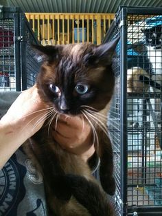 Found Cat - Siamese - Caistor Centre, ON, Canada L0R 1E0 on May 19, 2014 (13:00 PM)