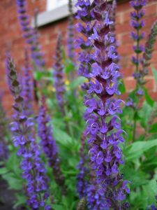 Growing Sage - The Herb Gardener - lots of good information on growing & using herbs Spice Garden, Herb Garden, Salvia, Cas, Pinterest Garden, Blue Garden, Flowers Perennials, Growing Herbs, Medicinal Herbs