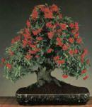 Piracanta laranja bonsai cuidados