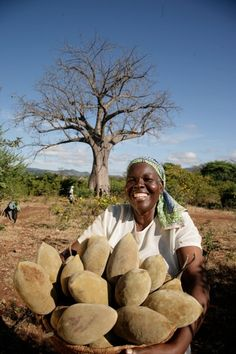 https://flic.kr/p/bxYdVm | A Bunch of Baobab Fruit | A farmer harvests baobab fruit in southern Africa. The pulp of the fruit is used in drink products and contains nutrients such as Vitamin C, iron and calcium.   Photo Copyright of PhytoTrade Africa  This photo won first place in our first Feed the Future photo contest!