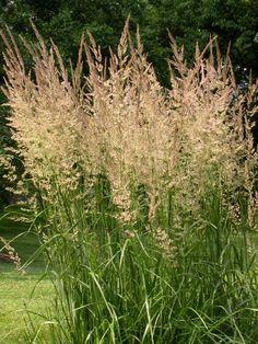 Feathertop Reed Grass (Calamagrostis epigejos)