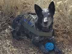 ACD Liberty Blue Heelers, Cattle Dogs, Love My Kids, Dog Rules, Australian Cattle Dog, Pit Bulls, Service Dogs, Working Dogs, Beautiful Babies