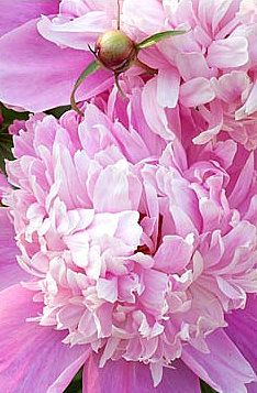 Pink (Brabourne Farm)