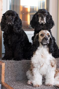 American Cocker Spaniel Puppies Images