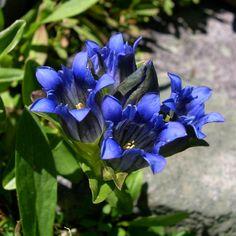 SEINet Portal Network - Gentiana parryi, Parry's Gentian Landscaping Plants, Garden Plants, Colorado Landscaping, Plant Guide, Front Range, Native Plants, Wildflowers, Beautiful Flowers, Roots