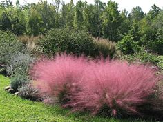 "Muhlenbergia capillaris ""Pink Muhly Grass"" - Sun - Renowned for its heat, humidity, drought, poorly drained clay & sand tolerance & deer resistance, this fantastic thing bursts into a x cotton candy cloud of shimmery little pink flowers from Sep Garden Shrubs, Garden Plants, Garden Landscaping, Fruit Garden, House Plants, Grass For Sale, Landscape Design, Garden Design, Drought Tolerant Plants"