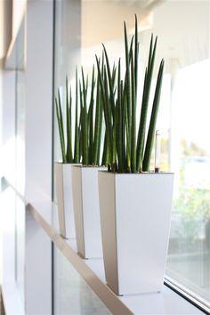 sansevieria cylindrica - Buscar con Google