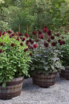 Here it is still winter 'extra everything' and then you'll be well spent. Got the first dahlias just delivered and although it takes a while to put in pots, there was a packet of hope for our o summer that came. This year it will be white instead of red in the barrels. ❧ ❧ ❧ 🇬🇧