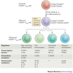 Figure 1: TReg cell activation and differentiation.
